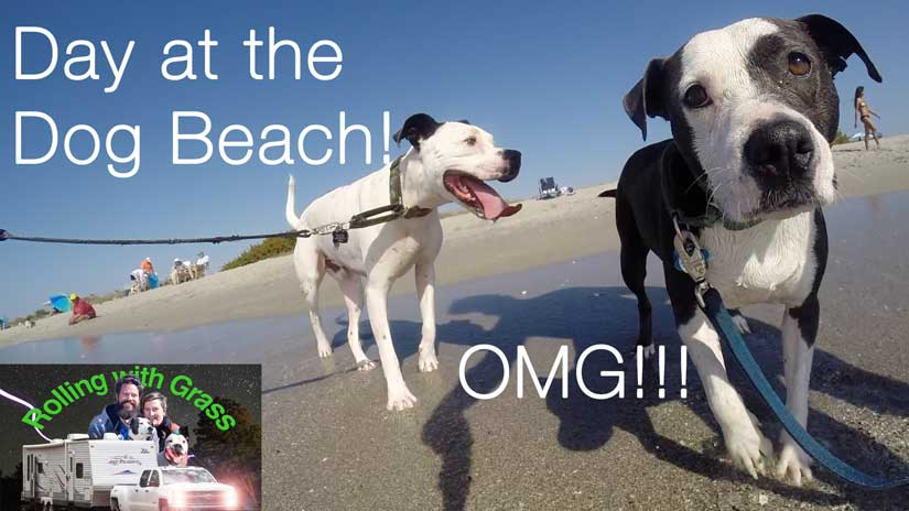 Dazey and Enzo at the Dog Beach FLorida Rolling with Grass